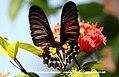 Pa Southern Birdwing 18 January 2008 Q (2206340438).jpg