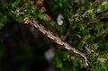 Pachycnemia hippocastanaria larva.jpg