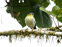 Pachyramphus versicolor (male) -NW Ecuador-6
