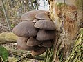 Paddenstoelen op een vlier (Sambucus nigra) 03.JPG