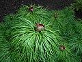 Paeonia tenuifolia 2016-04-19 7918.JPG
