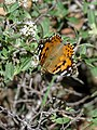 Painted Lady (38036446404).jpg