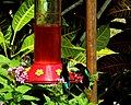 Pair of Hummingbirds (24082099081).jpg