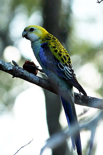 Pale-headed Rosella, Platycercus adscitus