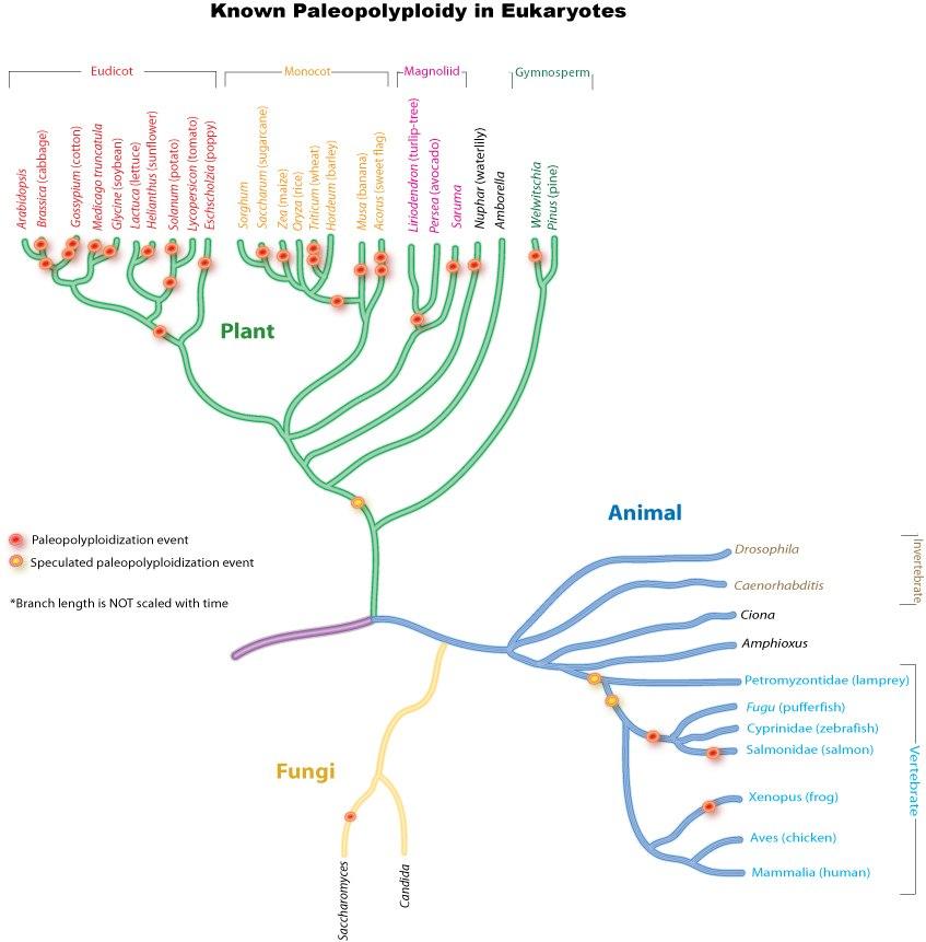 PaleopolyploidyTree