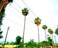 Palm trees Monocotyledon.jpg