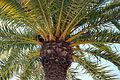 Palmboom Jardin du Luxembourg (6226992256) (2).jpg