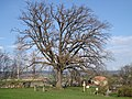 Památný dub v Broumově.jpg