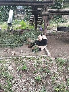 Gu Gu male giant panda
