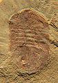 Panlongia spinosa CRF.jpeg