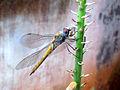 Pantala flavescens (Wandering Glider) dragonfly at Madhurawada.JPG