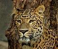 Panthera pardus japonensis JdP.jpg