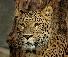 Észak-kínai leopárd (Panthera pardus japonensis)