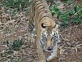 Panthera tigris in Nandankanan Zoo 02.jpg