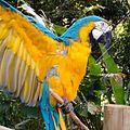 Papagayo del Zoológico de Cali.jpg