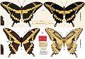 Papilio (Heraclides) cresphontes types (36231).jpg