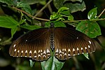 Papilio dravidarum-Kadavoor-2016-07-30-001.jpg