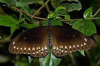 Papilio dravidarum - Dorsal view