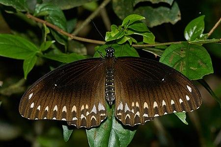 Papilio dravidarum