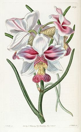 Papilionanthe teres (as Vanda teres) - Edwards vol 21 pl 1809 (1836).jpg