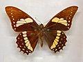 Papilionidae - Papilio menatius lenaeus.JPG