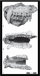 <i>Paradolichopithecus</i> Extinct genus of Old World monkeys