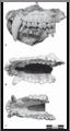 Paradolichopithecusgansuensis.png