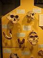 Paranthropus y Australopithecus.jpg