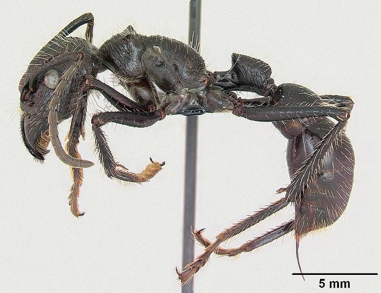 Paraponera clavata casent0006789 profile 1.jpg
