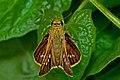 Parnara spp. – Parnara Swift spp ( Parnara guttatus mangala Moore, 1865 – Himalayan Straight Swift ) WLB DSC 9324.jpg