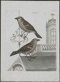 Passer domesticus - 1790-1796 - Print - Iconographia Zoologica - Special Collections University of Amsterdam - UBA01 IZ16000095.tif
