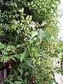 Passiflora (2136523188).jpg