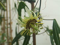 Passiflora xishuangbannaensis1