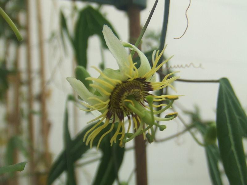 Passiflora xishuangbannaensis1.jpg