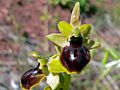 Passion Orchid (Ophrys passionis) (8338460292).jpg