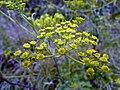 Pastinaca sativa subsp. urens inflorescence (03).jpg