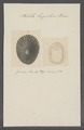 Patella lugubris - - Print - Iconographia Zoologica - Special Collections University of Amsterdam - UBAINV0274 081 08 0039.tif