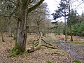 Path through mixed woods, Roe Inclosure, New Forest - geograph.org.uk - 145735.jpg