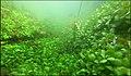 """Paysage subaquatique Subaquatic landscape rivière """"Les Baillons"""" à Enquin-sur-Baillons F Lamiot 07.jpg"""