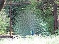 Peacock.10.jpg