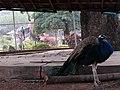 Peacock at Khandi Dam, Giridih, Jharkhand.jpg