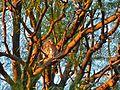 Pearl-spotted Owlet (Glaucidium perlatum) (7021432125).jpg