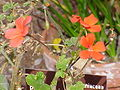 Pelargonium tongaense0.jpg