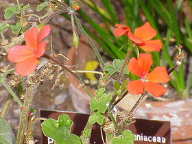 Pelargonium tongaense0.jpg