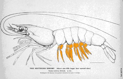 Penaeus diagram pleopods