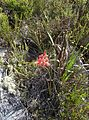 Peninsula Sandstone Fynbos on Table Mountain - Cape Town 9.jpg