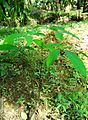 Pepohonan di semak belukar (20).JPG