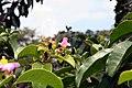 Pereskia grandifolia 29zz.jpg