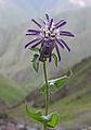 Perezia purpurata (8477119169).jpg