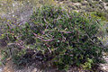 Periploca angustifolia2.jpg
